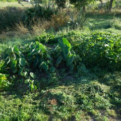 無農薬自家菜園